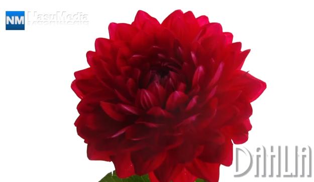 ダリアの花が咲く様子の微速度撮影動画
