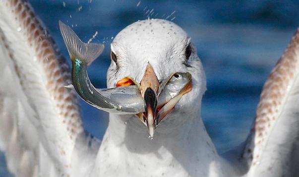 需要無視!鳥に食べられてしまう魚の少し悲しい写真をまとめました