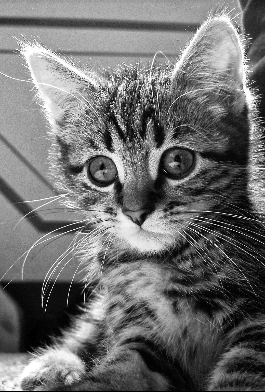 モノクロで可愛い子猫のiOS7対応iPhone壁紙[視差効果]